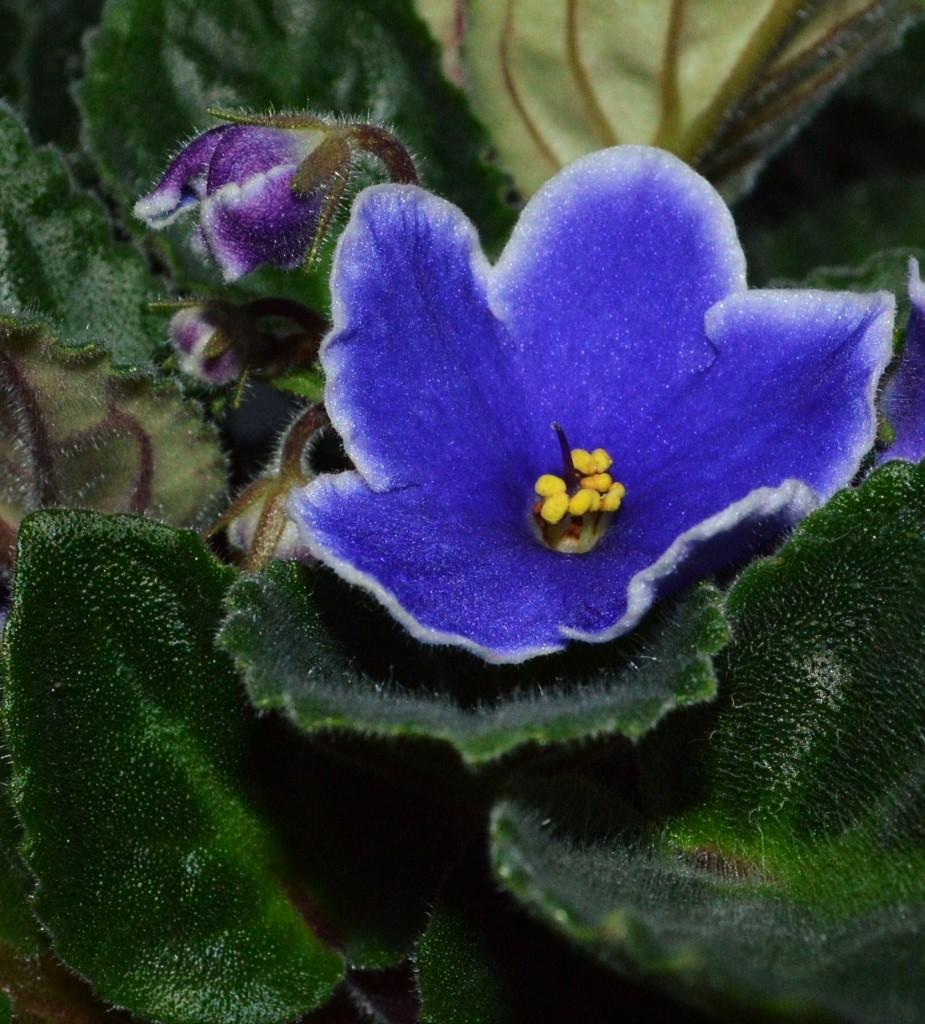 """""""flori albastre"""""""
