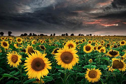 """""""floarea-soarelui"""