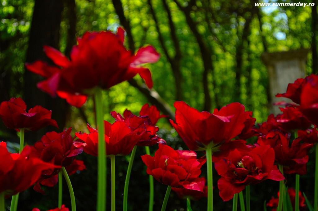 """""""lalele rosii"""""""