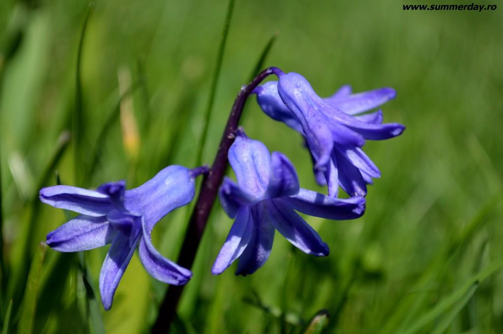 zambile-albastre