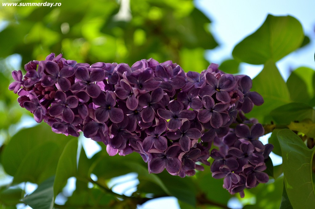 liliac-violet