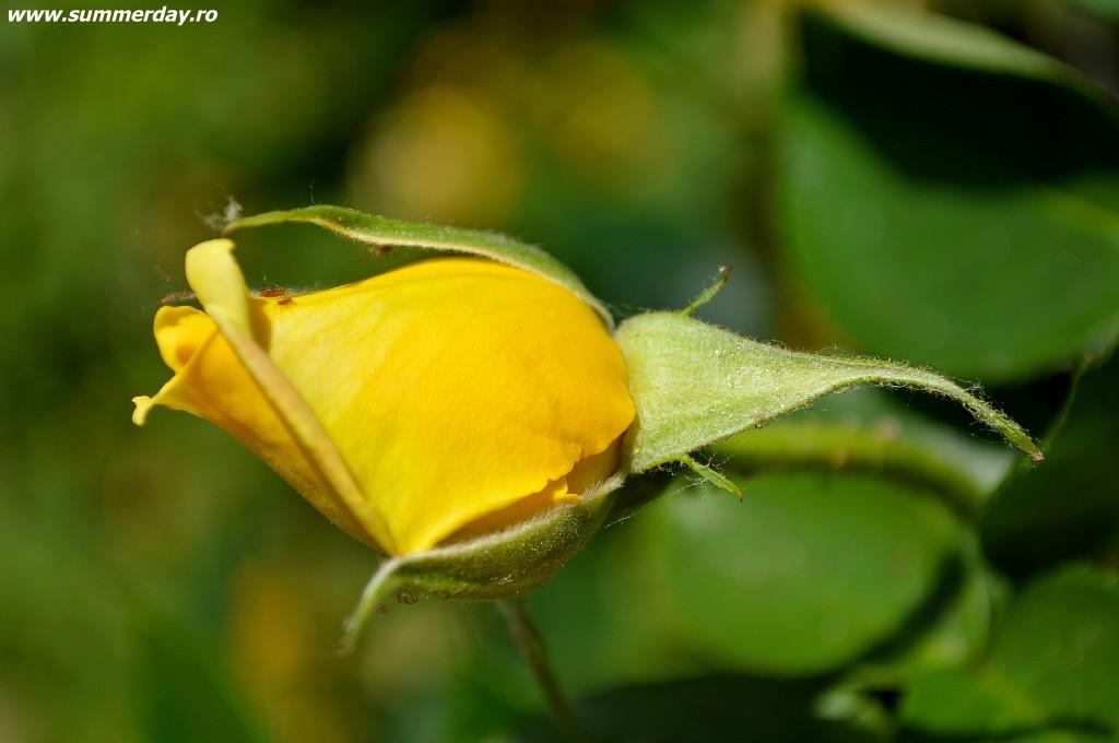 """trandafiri galbeni"""