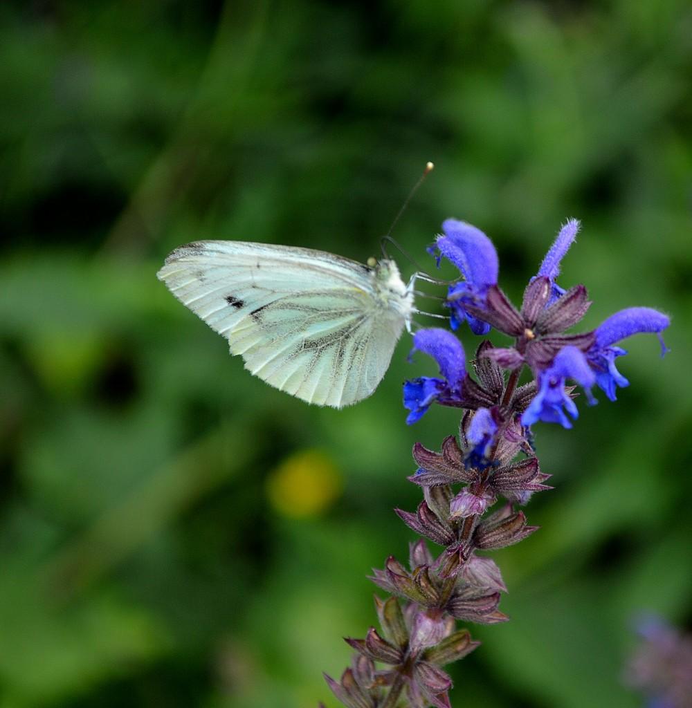 macro-fluturi
