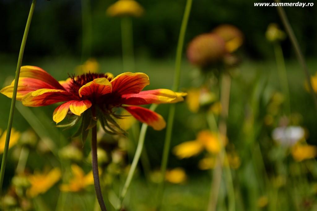 flori-frumoase-de-vara