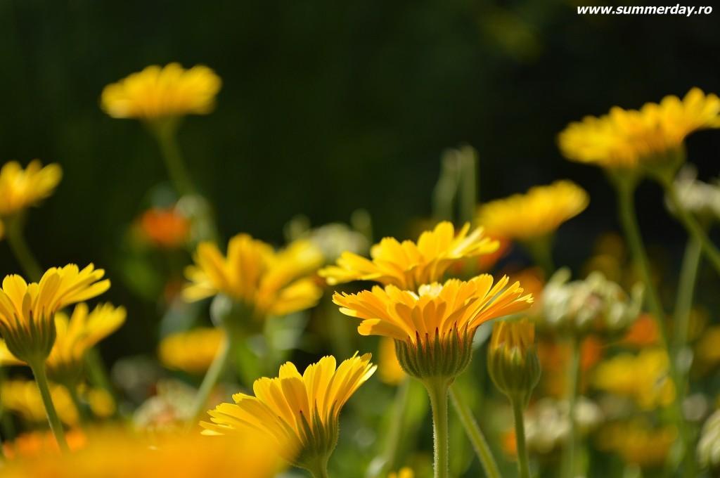 flori-galbene-de-vara
