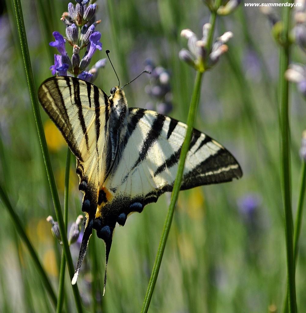 imagini-de-vara-cu-fluturi