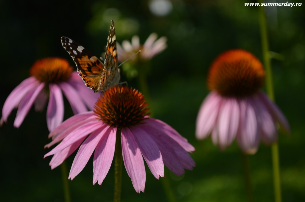 fluturi-superbi-macro