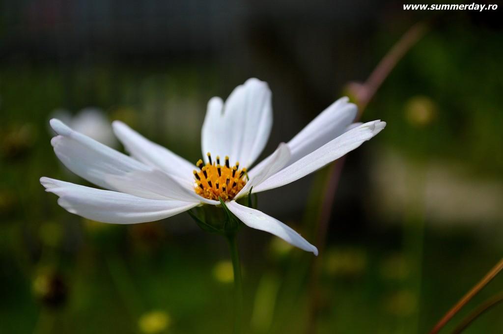 flori-de-camp