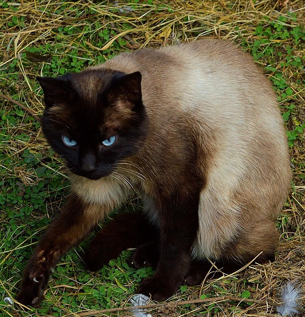 pisica-cu-ochii-albastri