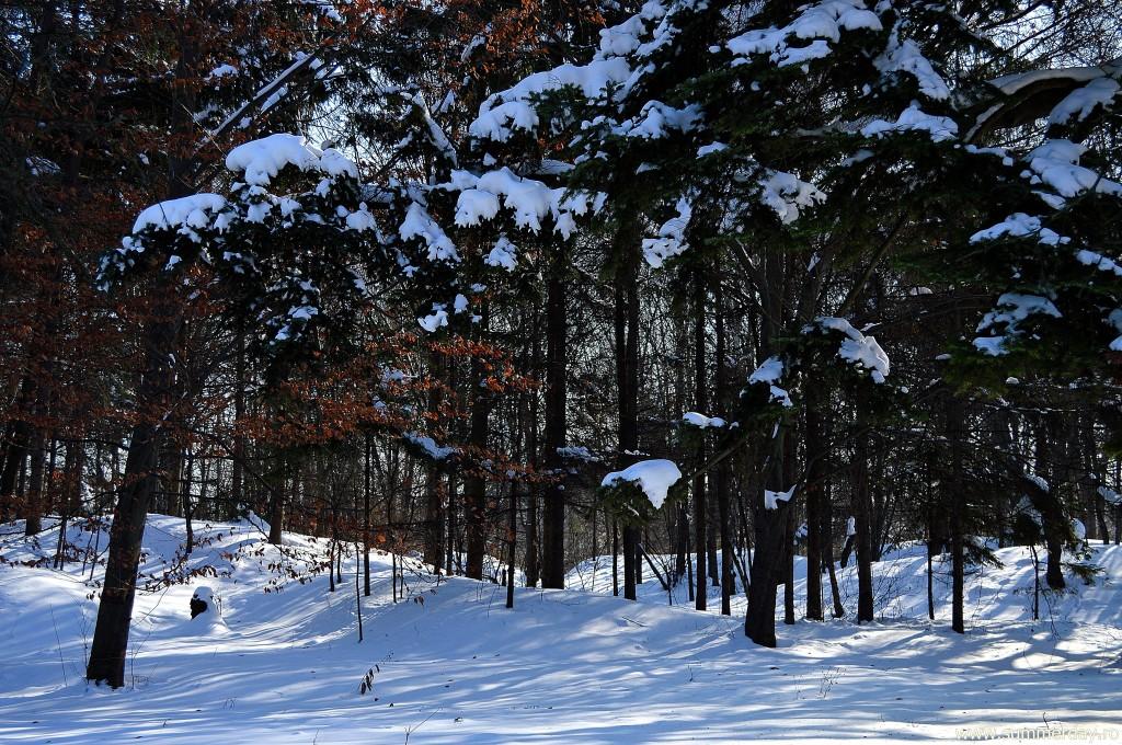 padure-de-brazi-iarna