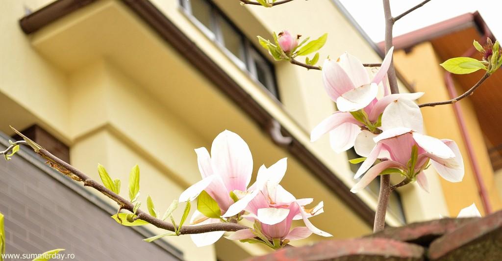 magnolii-inflorite