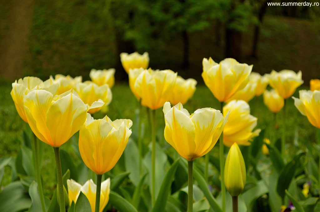 lalele-galbene