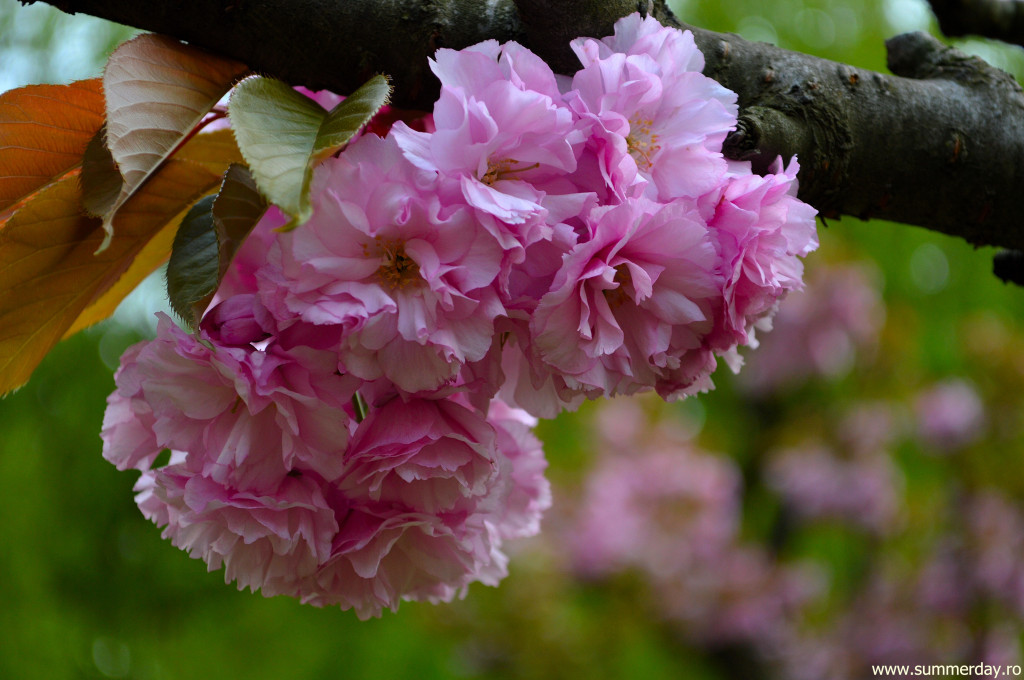 poze-sakura