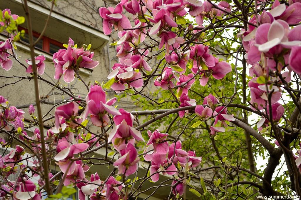poze-cu-magnolii