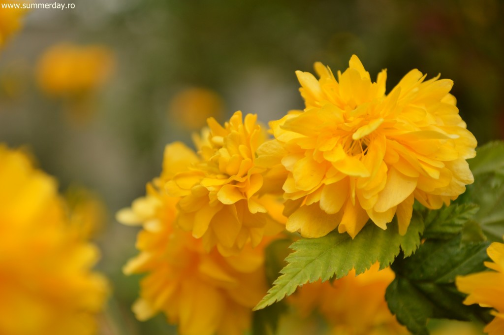 flori-galbene-de-primavara
