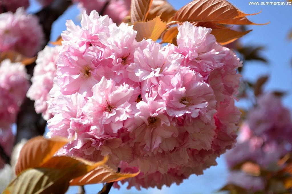 poze-sakura-frumoase