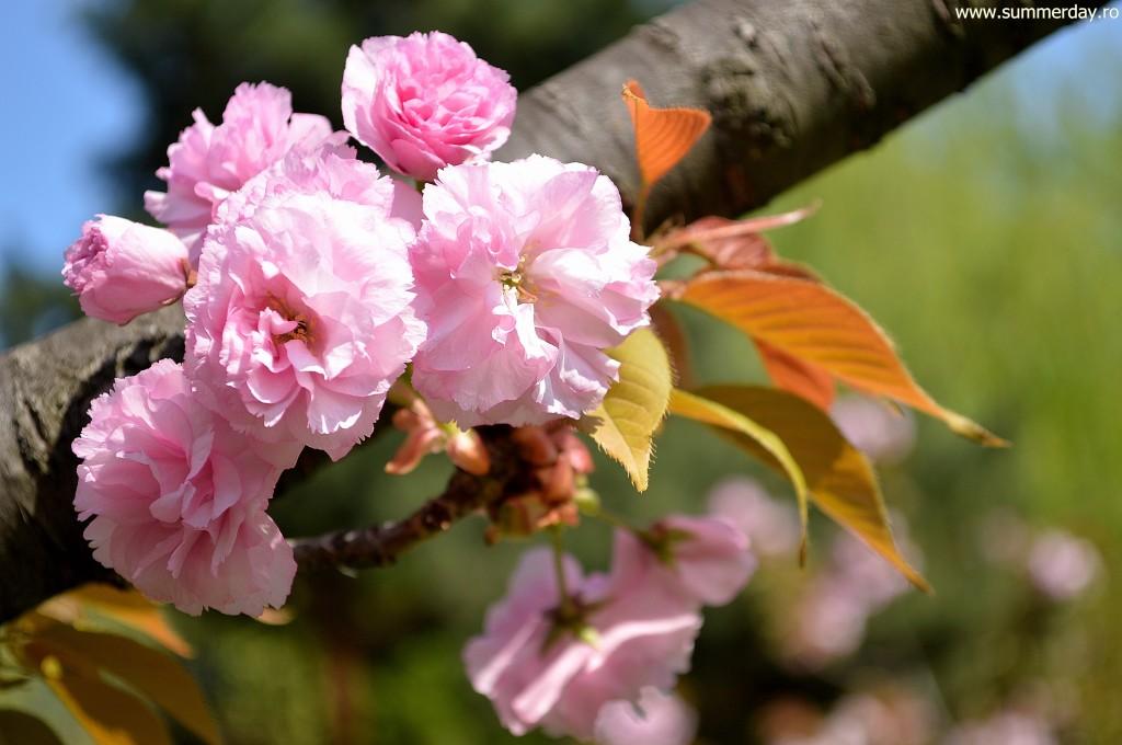 flori-de-cires-japonez