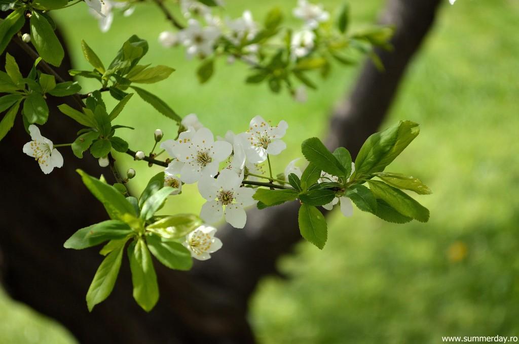 pomi-cu flori-albe