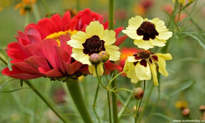 floricele-colorate-de-vara