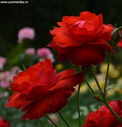 sezonul-rozelor
