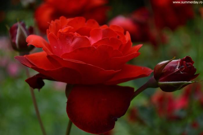 trandafir-rosu