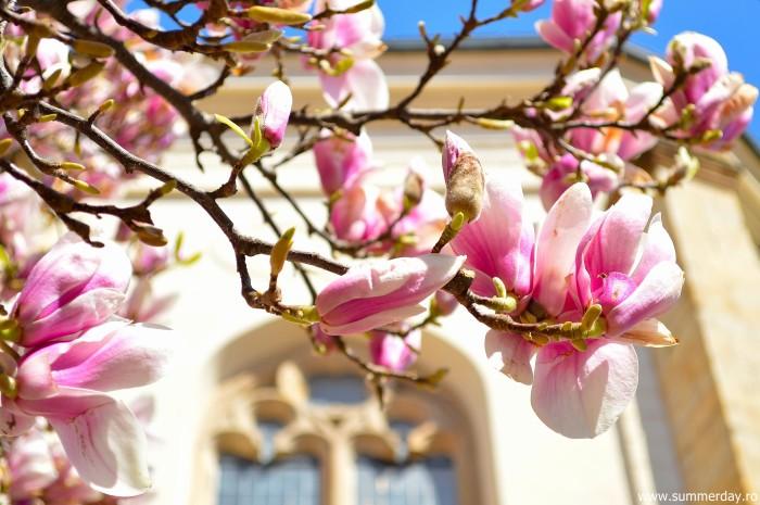 magnolii-pragheze