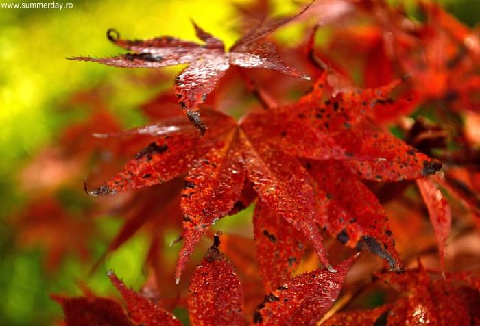 frunze-rosii-de-toamna