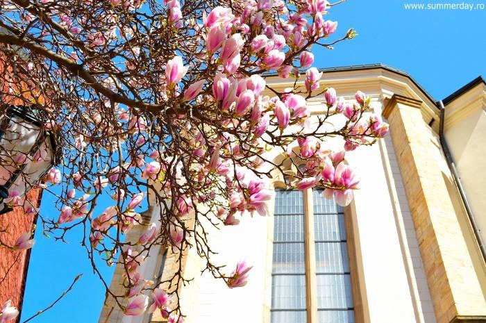 magnolii-praga