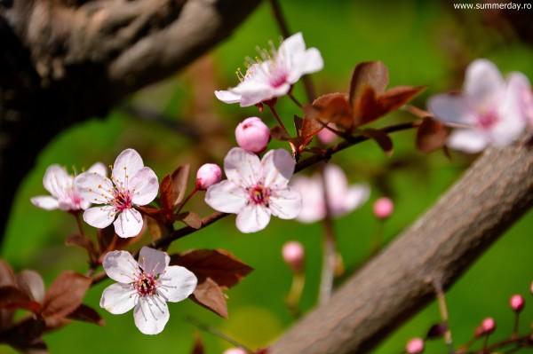 cismigiu-poze-pomi-infloriti