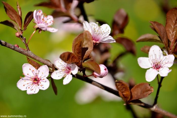 flori-roz-de-primavara