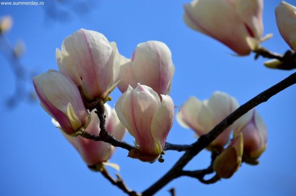 magnolii-roz