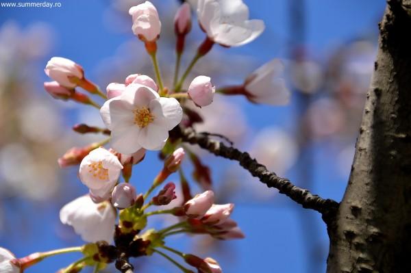 ciresi-japonezi-roz