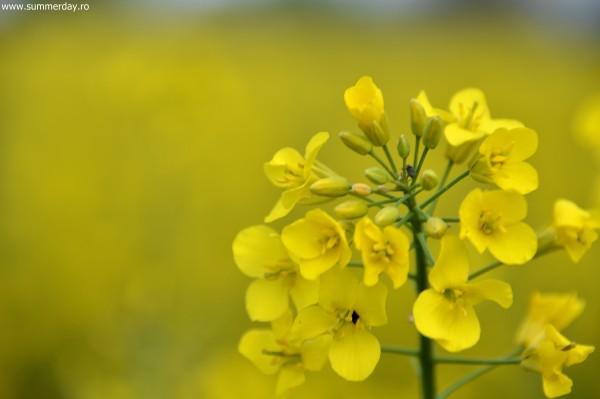 florea-de-rapita