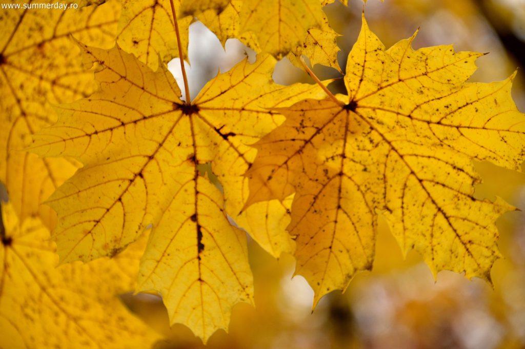 frunze-galbene