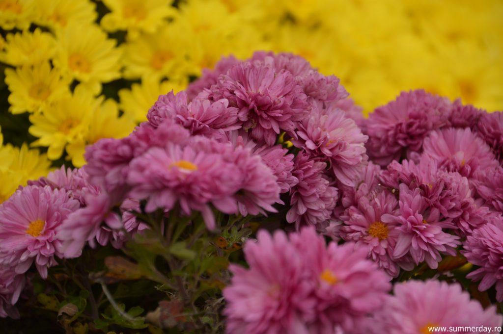 flori-de-toamna